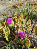 Ice plant flower royalty free stock photos