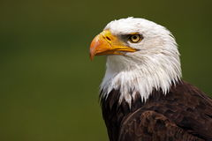 Picture Of Pride. Closeup of a Bald Eagle against a blurred background Royalty Free Stock Images