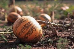 A close up picture of a pumpkin growing on a field. stock images