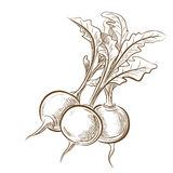 Picture of radish Royalty Free Stock Image