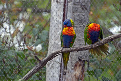 Picture of Rainbow Lorikeet Royalty Free Stock Images