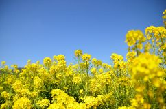 Rape blossoms Stock Image