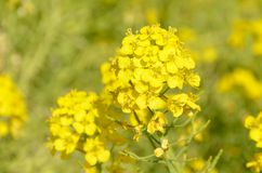 Rape blossoms Royalty Free Stock Image