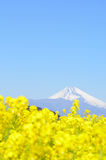 Rape blossoms and Mt  Fuji Royalty Free Stock Image
