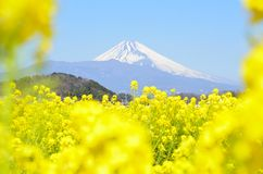 Rape blossoms and Mt  Fuji Stock Image