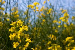 Rapeseed field Brassica napus royalty free stock image