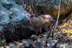 Picture of rare Fea's muntjac Royalty Free Stock Photo