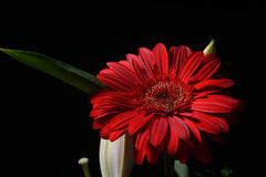 Picture of red daisy gerbera flower on black background. Lights Royalty Free Stock Photography