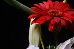 Picture of red daisy gerbera flower on black background. Lights Royalty Free Stock Photos