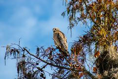Red shouldered hawk royalty free stock photos
