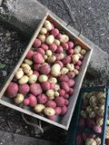 Harvested red and white potatoes royalty free stock photography