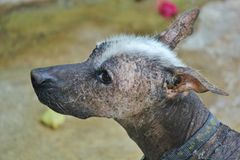 Xoloitzcuintle the naked dog of Mexico. This picture represent a race of dog in Mexico. His name is Xoloitzcuintle Stock Photography