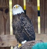 Rescued American Bald Eagle: Pose #2. This is a picture of a rescued American Bald Eagle at the Boyd Hill Nature Preserve located in St. Petersburg, Florida in royalty free stock photography