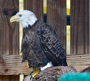 Rescued American Bald Eagle: Pose #4. This is a picture of a rescued American Bald Eagle at the Boyd Hill Nature Preserve located in St. Petersburg, Florida in royalty free stock photo