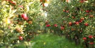 Ripe Apples in Orchard ready for harvesting. Picture of a Ripe Apples in Orchard ready for harvesting,Morning shot stock images