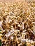 Picture of a ripe wheat field Royalty Free Stock Photos