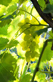 Picture of ripe white grape branch Royalty Free Stock Images