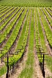 Rows of vines at a vineyard in Sonoma California. A picture of rows of vines at a vineyard in Sonoma California stock image