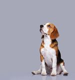 Picture of a sad beagle Royalty Free Stock Images