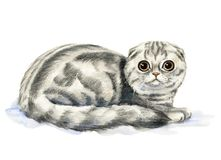 Scottish Fold cat. Picture of a Scottish Fold in white background. Watercolor hand painted illustration vector illustration