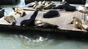 Sea lions enjoying the sun. A picture of sea lions on wooden platforms enjoying the sun taken during a daytrip in San Francisco USA in the fall Royalty Free Stock Photo