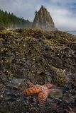 The Starfish with Sea Stacks at on the Rock. This is the picture of sea stacks and starfish at Rialto Beach, Olympic National Park, Washington Royalty Free Stock Photo
