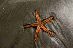 Sea star on a beach. Picture of Sea star on a beach and dark sandy royalty free stock photo