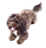 Picture of a seated black bichon Royalty Free Stock Photography