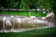 Picture of several pink flamingo birds in the zoo Stock Images