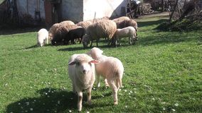 Sheep. Picture of sheep Stock Image