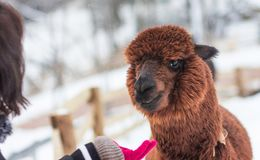 A picture of a tourist feeding a brown alpaca stock images