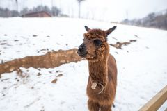 A picture of a young brown alpaca. royalty free stock images