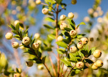 White myrtle. Picture showing a characteristic mediterranean plant present in Sardinia stock photos