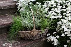 Basket with herbs in the garden stock images