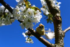 Bird on the blossoming cherry tree stock image