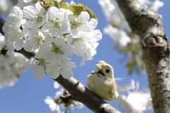 Bird on the blossoming cherry tree stock photography