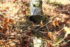 Birds nest in the forest. The picture shows a birds nest in the forest royalty free stock image