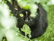 The garden - a cute cat in the greenery. The picture shows a black cat. The focus is on the cat`s eyes. There are some green leaves around his face royalty free stock photos