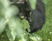 The garden - cat`s eyes. The picture shows a black cat lit by a bright sunshine. There`s a tomato plant in the foreground. The focus is on the cat`s eyes stock image