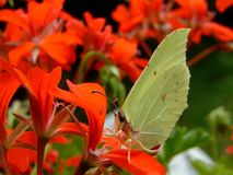 Brimstone butterfly on a geranium royalty free stock image