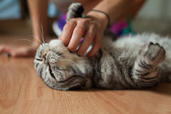 Picture shows a cat which is stroking by someone. What a pleasur Stock Image