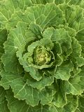 Close-up on a green cabbage from ecological farm IV