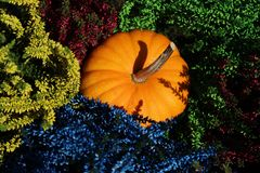 Colorful erica and a pumpkin. The picture shows colorful erica and a pumpkin royalty free stock photos