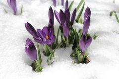 Crocus and spring snowflake in the snow stock photos