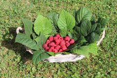Raspberries in a basket. The picture shows fresh raspberries in a basket stock images