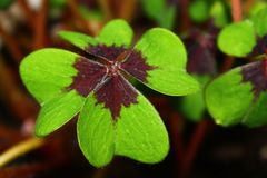 Beautiful lucky clover royalty free stock photo