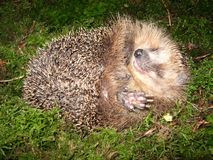Hedgehog in the moss stock photography