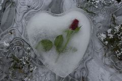 Ice heart with a rose on frozen water royalty free stock image