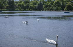 Lake and the swans, Hyde Park. Stock Image