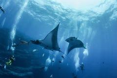 Manta Ray at Islas Revillagigedos, Mexico. Picture shows Manta Rays at Islas Revillagigedos, Mexico royalty free stock photo